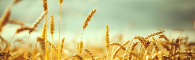 wheat field_edited